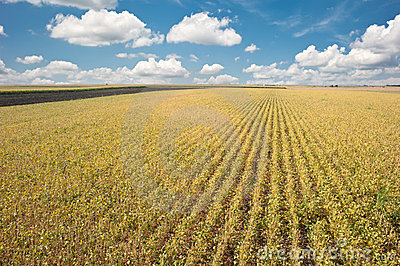 Soybean fields before harvest