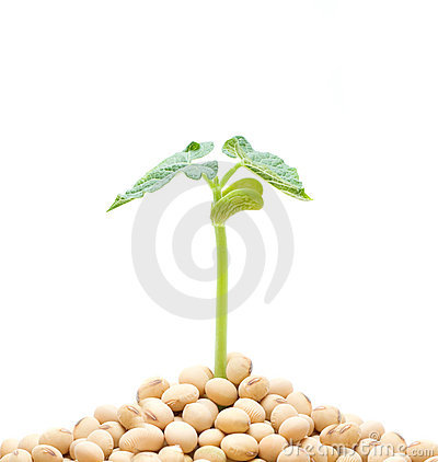 Free Soybean Sprout Isolated On White Background Royalty Free Stock Image - 14992506