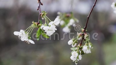 Spada kropla deszcz na czereśniowego okwitnięcia kwiacie zdjęcie wideo