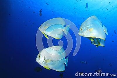 Spadefish (Batfish)