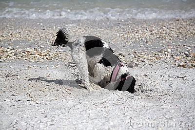 Spaniel digging in sand.