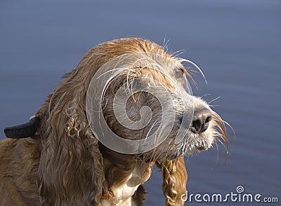 The spaniel dog