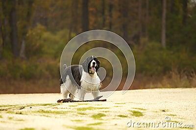 Spaniel fetching