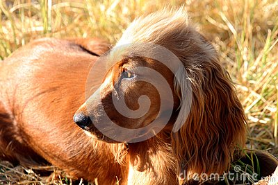 Spaniel looking away from camera