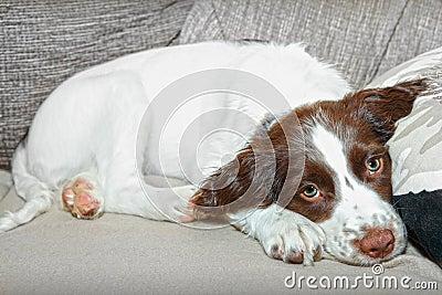 Spaniel puppy dog