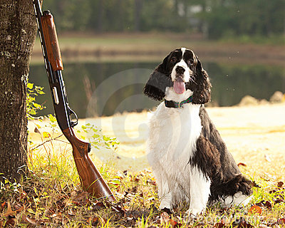 Spaniel and shotgun