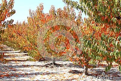 Spanish cherry orchard in autumn, Murcia