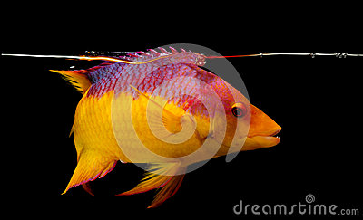 Spanish hogfish on black background