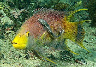 Spanish hogfish and sharksucker