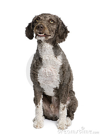 Spanish water spaniel dog, 3 years old, sitting.