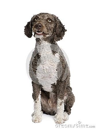 Spanish water spaniel dog, 3 years old, sitting.