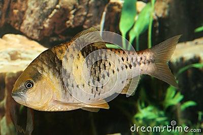 Spanner barb fish