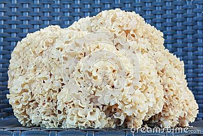 Sparassis Crispa (Cauliflower Mushroom)