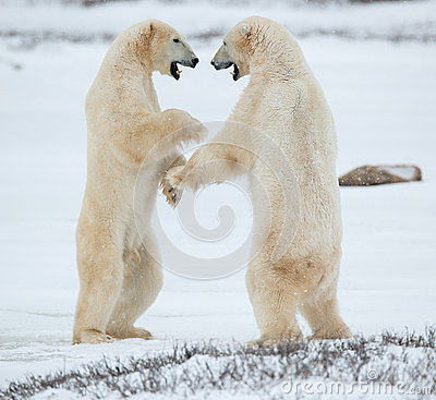 Free Sparing Polar Bears. Fighting Polar Bears (Ursus Maritimus ) On The Snow. Stock Images - 70126964