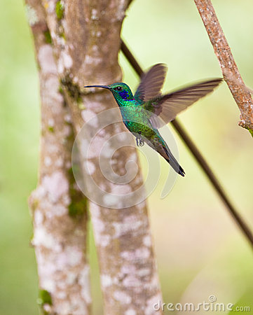 Sparkling Violetear in flight