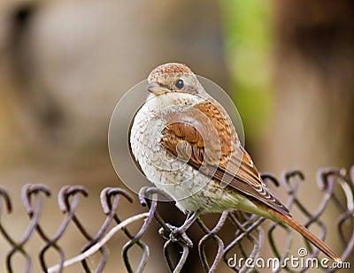 Sparrow (Passer montanus)
