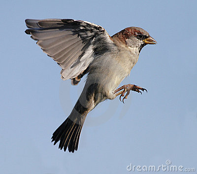Flying sparrow animated - photo#19