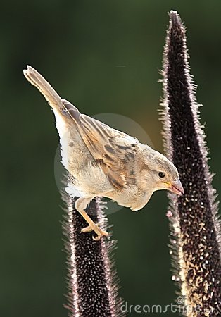 Free Sparrow Royalty Free Stock Photo - 4285105