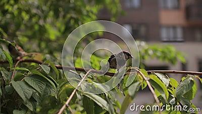 Sparrow auf Zweig stock video footage