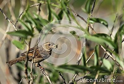 The sparrow   bird