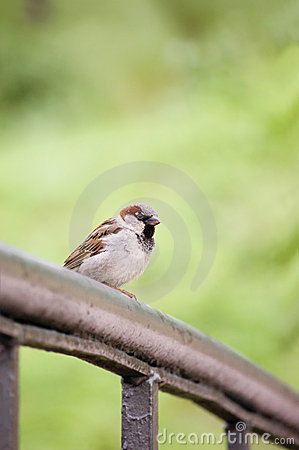 Sparrow Bird Passer domesticus On Bridge Rail