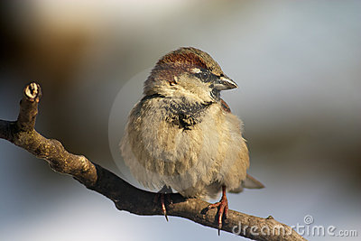 Sparrow bird on the twig