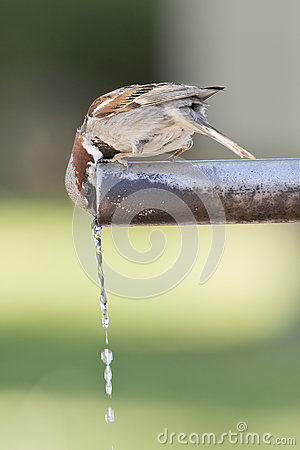 Free Sparrow Drinking Water. Royalty Free Stock Image - 26089926