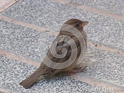 Sparrow głodny