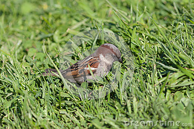 Sparrow in a green grass