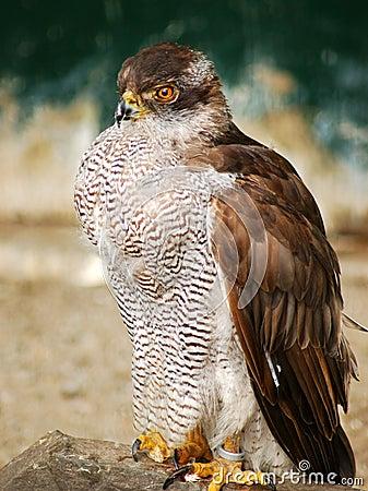 Sparrow-hawk.