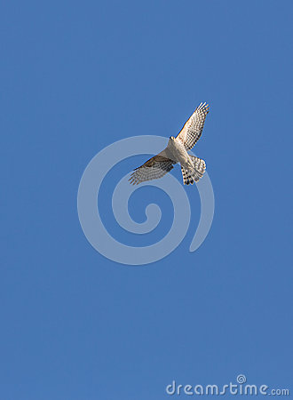 Sparrow Hawk in flight