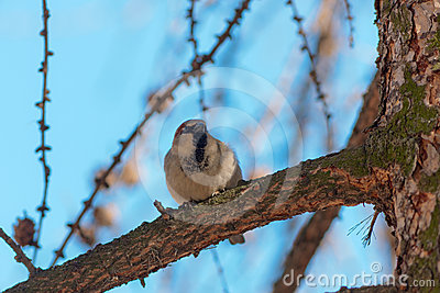 Sparrow on a larch branch