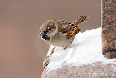 Sparrow on a parapet