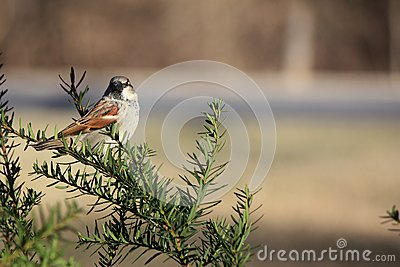 Sparrow Perched in Bush