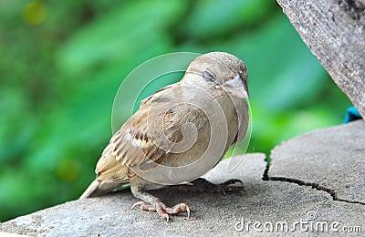 Sparrow resting