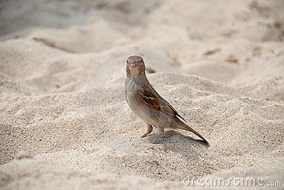 Sparrow on the sand