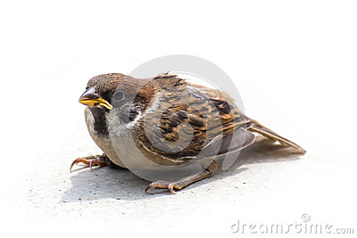 Sparrow sit stand on  floor