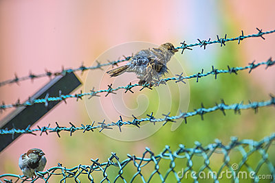 Sparrow sitting on a barbed wire fence