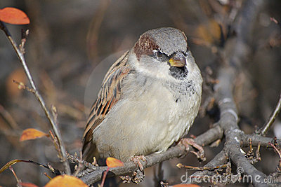 The sparrow, sitting on the brunch