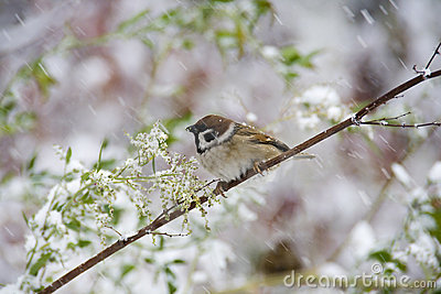 Sparrow with snow