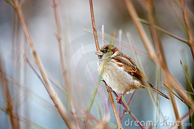 Sparrow on sprig