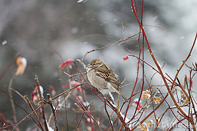 Sparrow in the winter