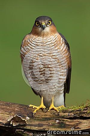 Free Sparrowhawk (Accipiter Nisus) Stock Image - 24524131