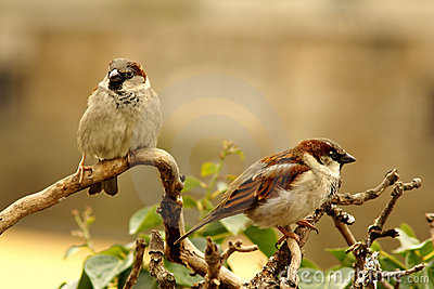 Sparrows Royalty Free Stock Photo - Image: 4801505