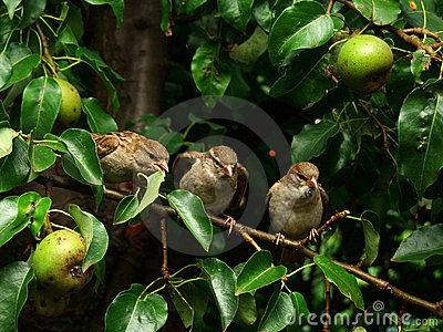 Sparrows in pear-tree