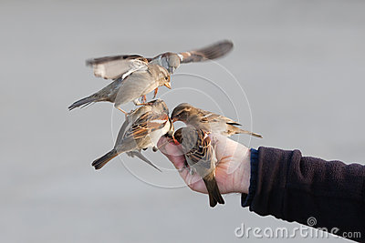 Sparrows sitting on a male hand