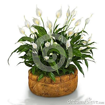 Free Spathiphyllum Stock Photos - 19640713