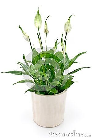 Free Spathiphyllum Flower Stock Image - 22171911