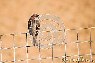 Spatz auf dem Zaun
