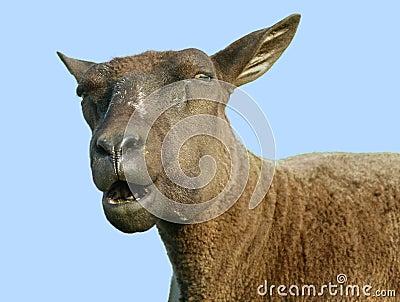 Speaking sheep